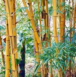 propiedades-del-bambu