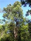 el eucalipto para el aparato respiratorio, garganta etc