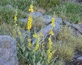 planta medicinal Gordolobo