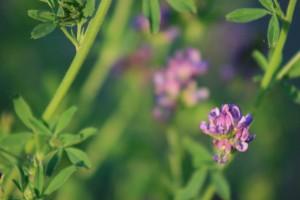 Propiedades de la alfalfa
